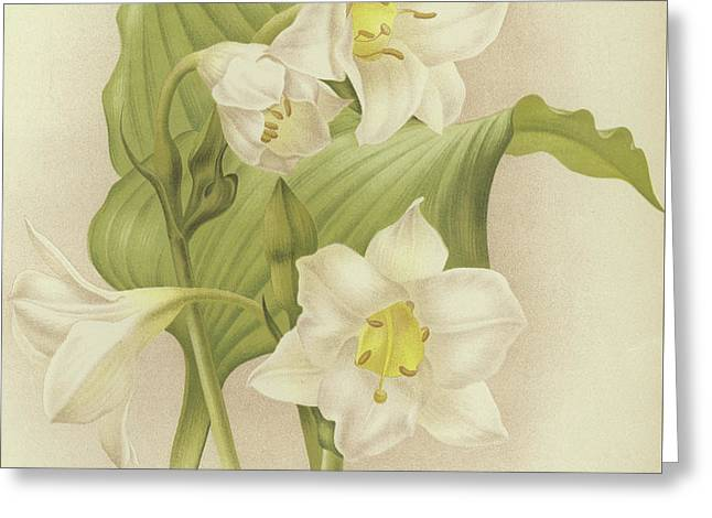 White Orchids   Eucharis Sanderiana Greeting Card by English School