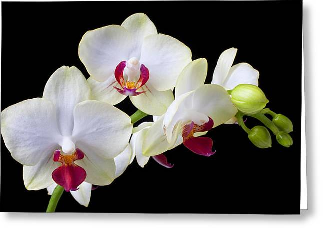 Monocots Greeting Cards - White Orchids Greeting Card by Garry Gay