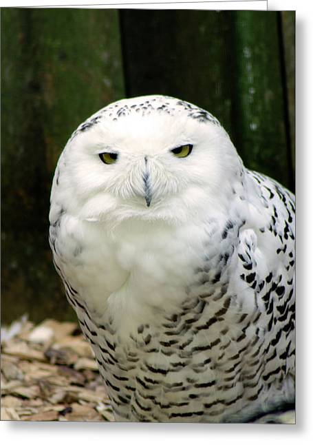 White Owl Greeting Card by Rainer Kersten