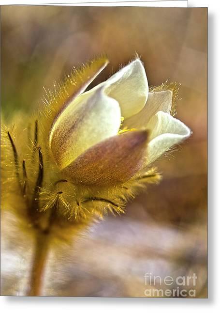 White Pasqueflower Greeting Card by Heiko Koehrer-Wagner
