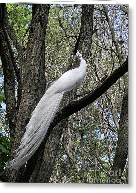 White Peacock Calling Greeting Card by Judy Whitton