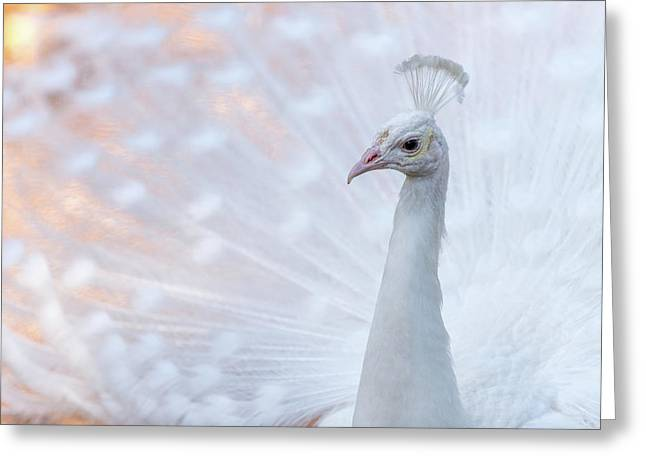 White Peacock Greeting Card by Sebastian Musial