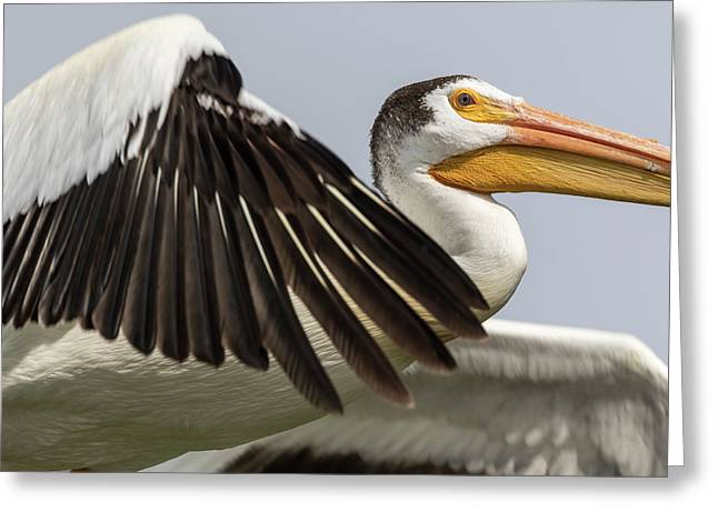 White Pelican 2016-3 Greeting Card