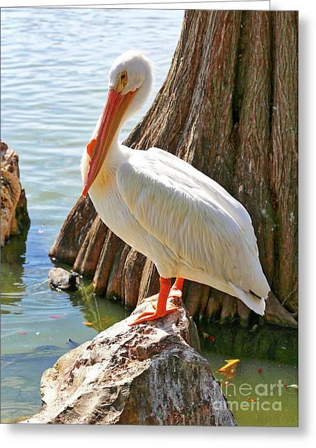 White Pelican By Cypress Tree Greeting Card by Carol Groenen