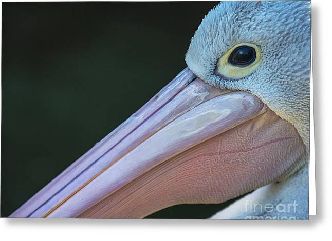 White Pelican Close Up Greeting Card by Avalon Fine Art Photography