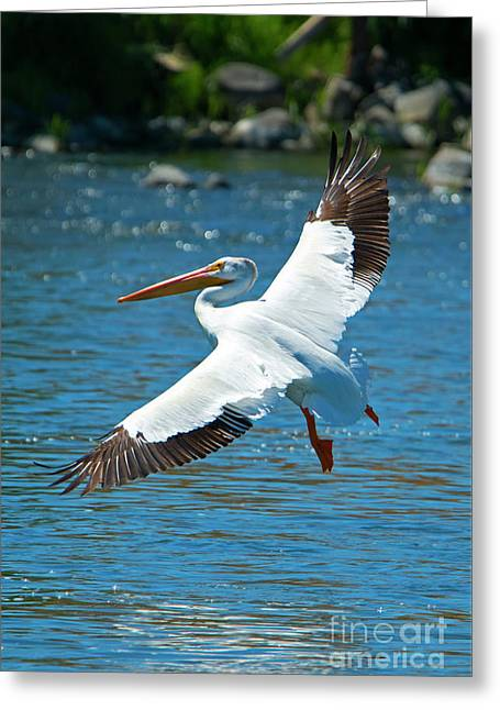 White Pelican Flight Greeting Card by Mike Dawson