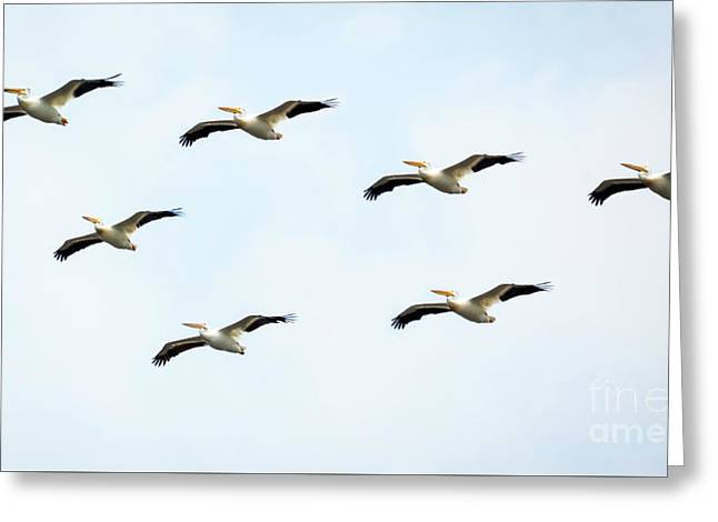 Greeting Card featuring the photograph White Pelican Flyby by Ricky L Jones