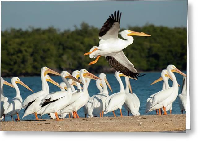 White Pelican In Flight Greeting Card by Diane Luke