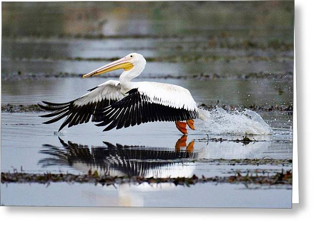 White Pelican Greeting Card by John Adams