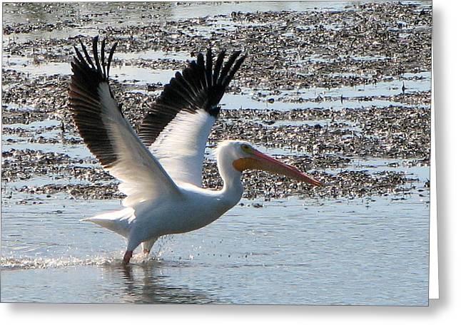 White Pelican Takes Wing Greeting Card