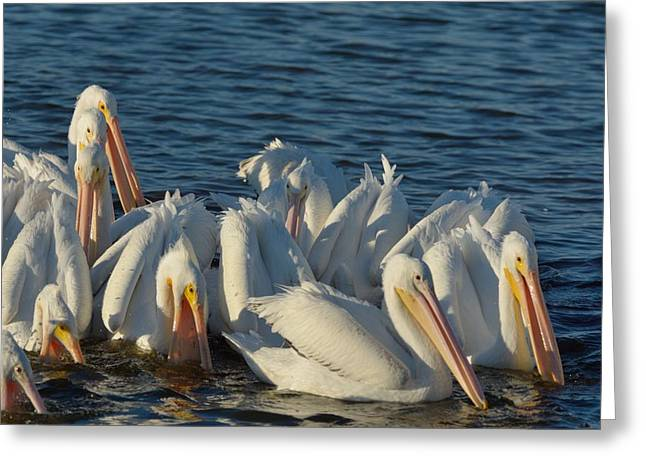 Greeting Card featuring the photograph White Pelicans Flock Feeding by Bradford Martin