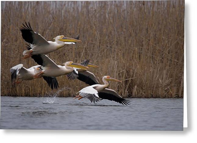 White Pelicans In Flight Over Lake Greeting Card