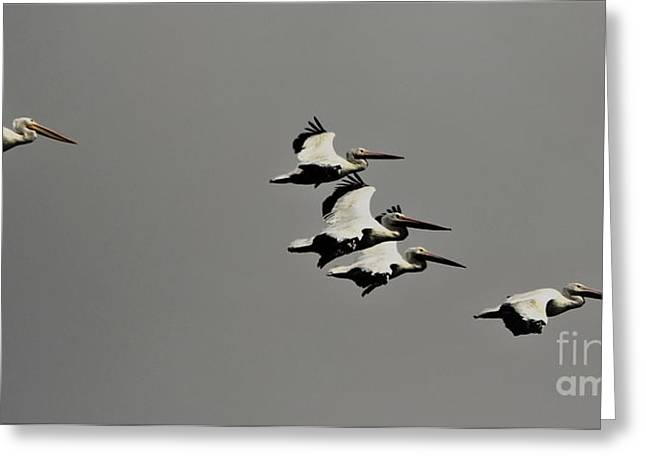 White Pelicans In Flight Greeting Card