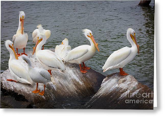 White Pelicans Greeting Card by Inge Johnsson