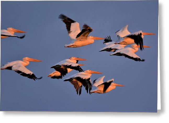 White Pelicans Greeting Card by John Adams