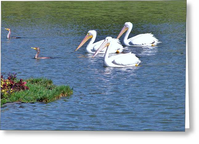 White Pelicans Greeting Card
