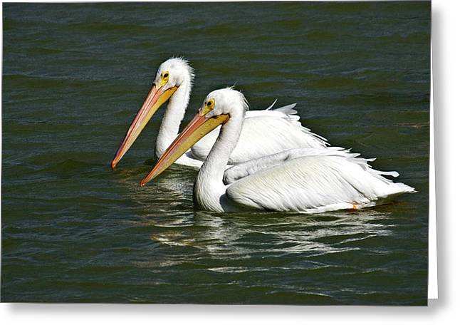 White Pelicans Greeting Card by Rodney Cammauf
