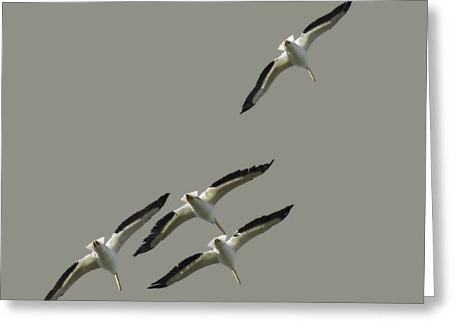 White Pelicans Transparency Greeting Card