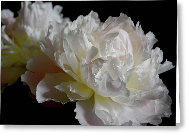 White Peonies Greeting Card by David Rothmiller