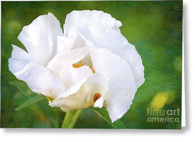 White Peony After The Rain Greeting Card