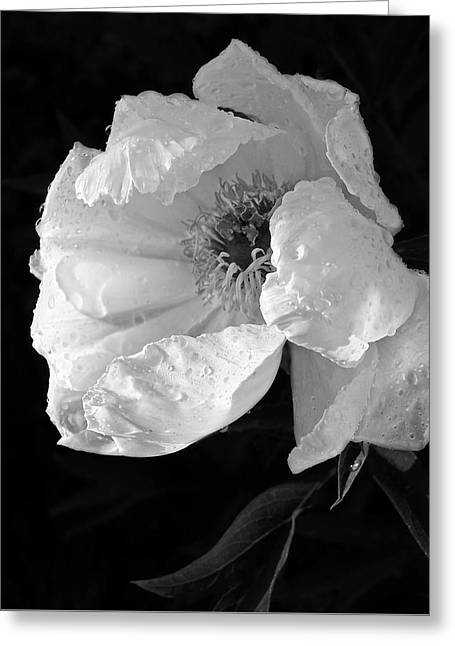 White Peony After The Rain In Black And White Greeting Card by Gill Billington
