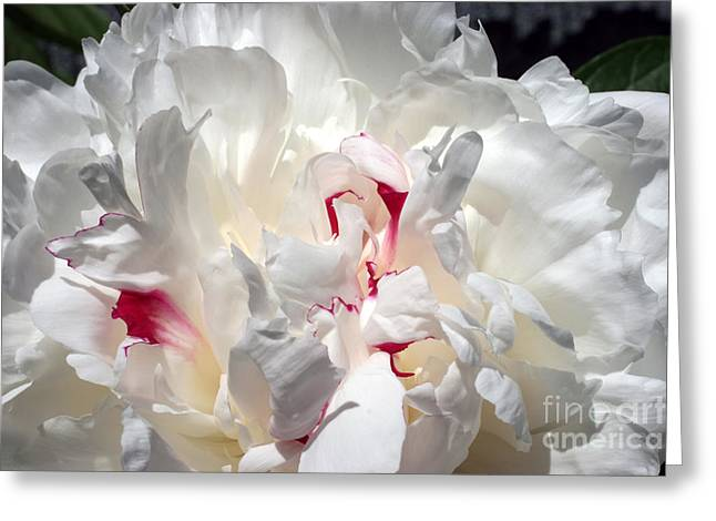 White Peony And Red Highlights Greeting Card