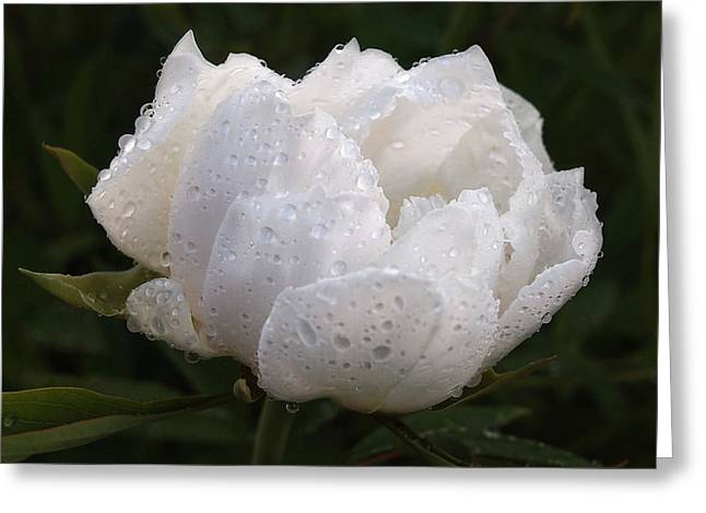 White Peony Covered In Raindrops Greeting Card by Gill Billington