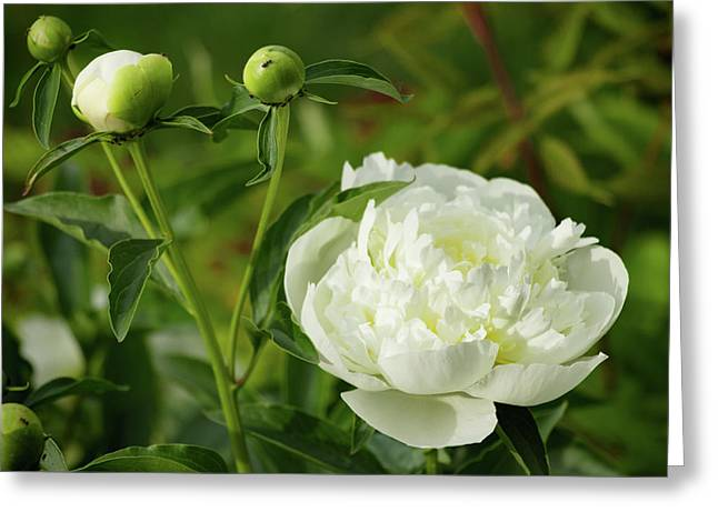 Greeting Card featuring the photograph White Peony by Cristina Stefan
