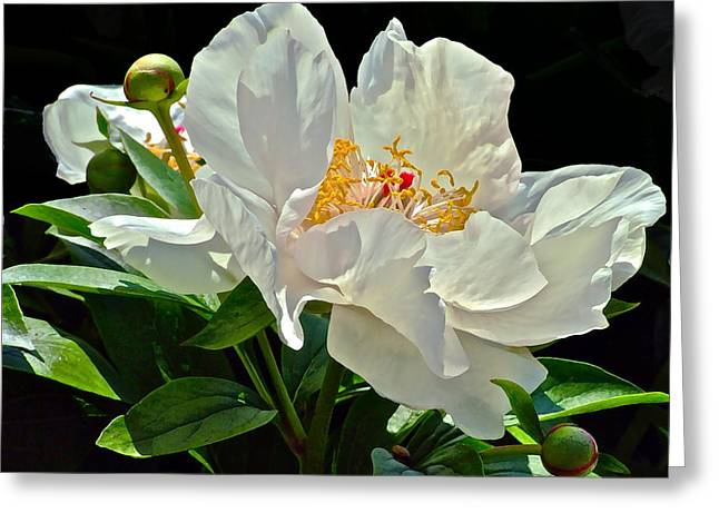 White Peony Greeting Card by Janis Nussbaum Senungetuk