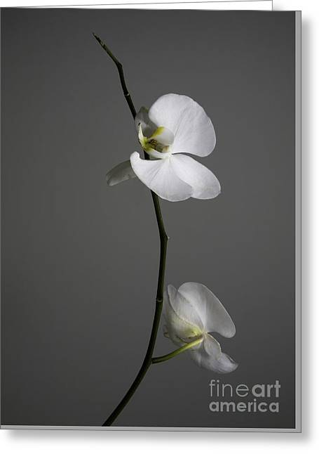 White Phalaenopsis Orchid Greeting Card