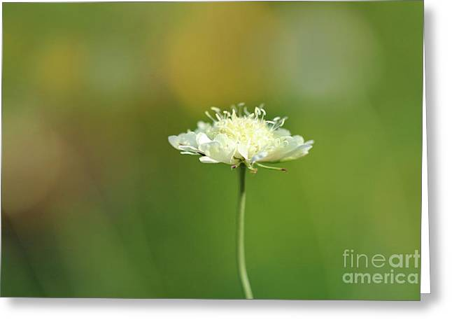White Pincushion Flower Greeting Card