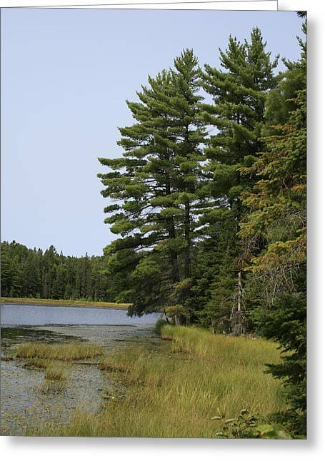 White Pines Greeting Card by Alan Rutherford