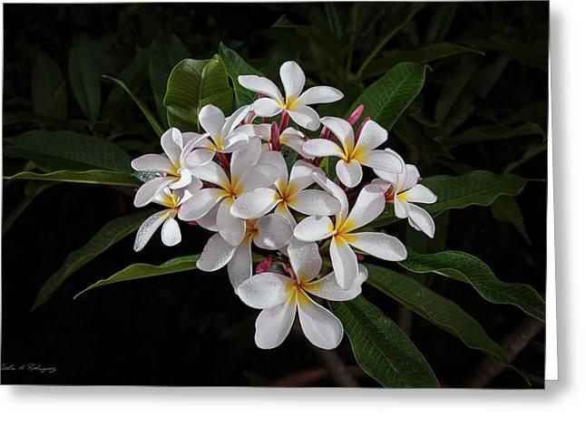 White Plumerias In Bloom Greeting Card