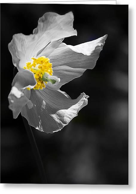 White Poppy Greeting Card by Svetlana Sewell