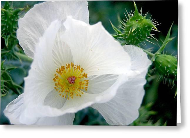 White Prickly Poppy Greeting Card