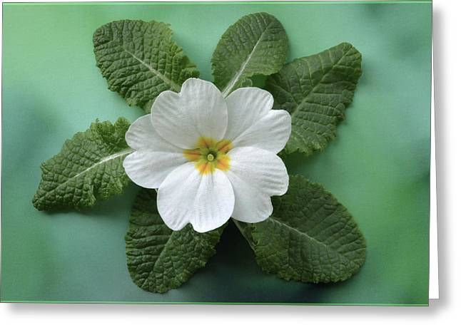 Greeting Card featuring the photograph White Primrose by Terence Davis