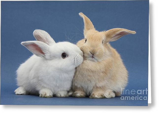 White Rabbit And Sandy Rabbit Greeting Card by Mark Taylor