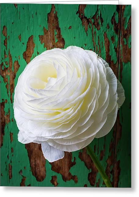 White Ranunculus Greeting Card by Garry Gay