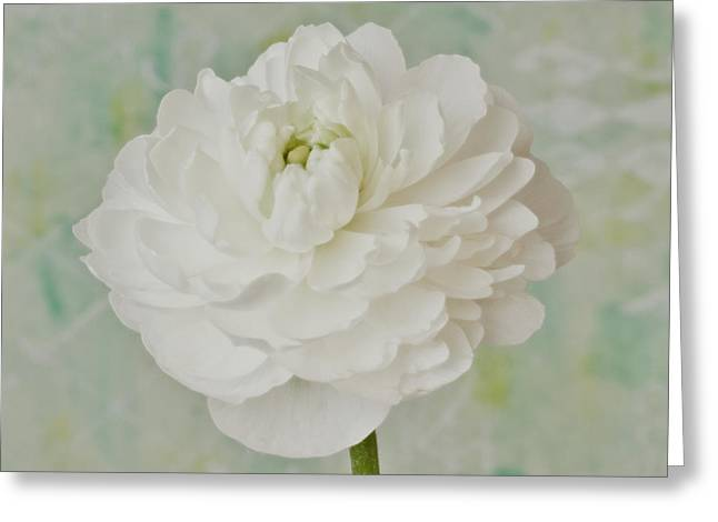 White Ranunculus Greeting Card by Sandra Foster