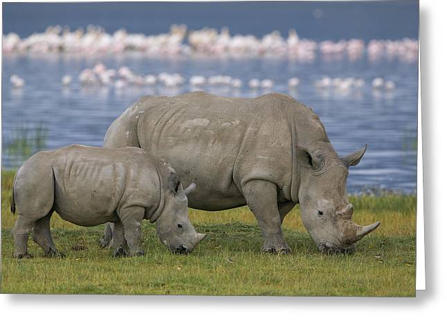 White Rhino Mother And Calf Grazing Greeting Card by Ingo Arndt