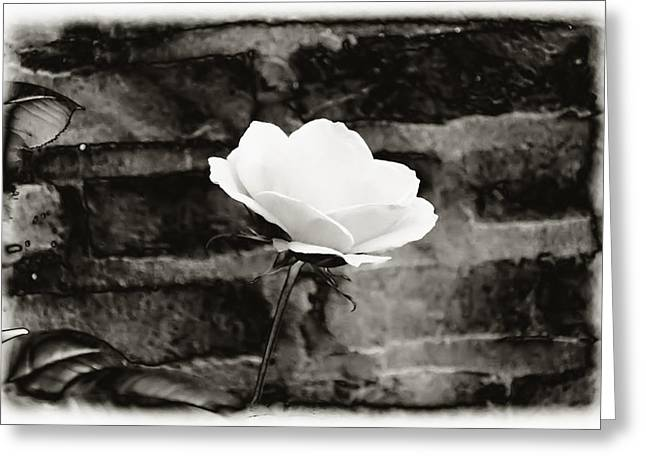 White Rose In Black And White Greeting Card by Bill Cannon