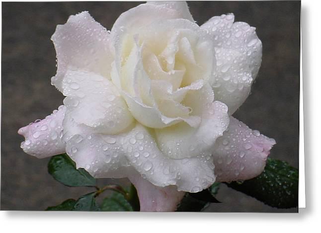 White Rose In Rain - 3 Greeting Card by Shirley Heyn