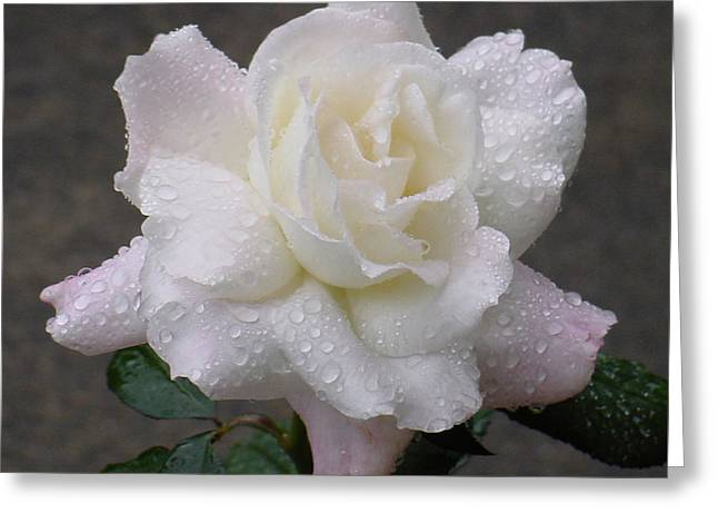 White Rose In Rain - 3 Greeting Card