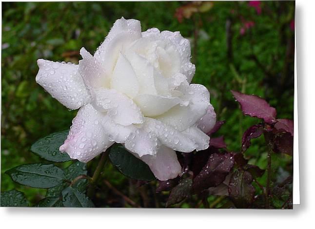 White Rose In Rain Greeting Card by Shirley Heyn