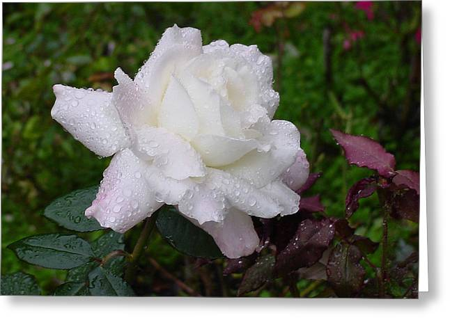 White Rose In Rain Greeting Card