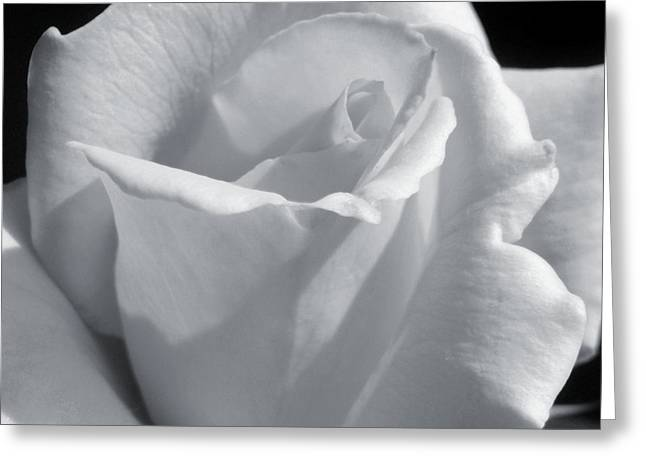 White Rose Greeting Card by JAMART Photography