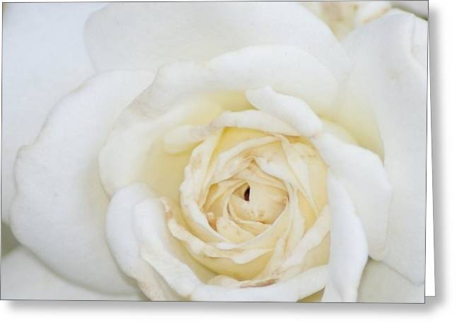 White Rose Greeting Card by Liz Vernand