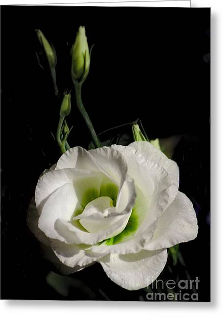Greeting Card featuring the photograph White Rose On Black by Jeremy Hayden