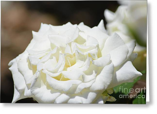 White Rose  Greeting Card by Ruth Housley