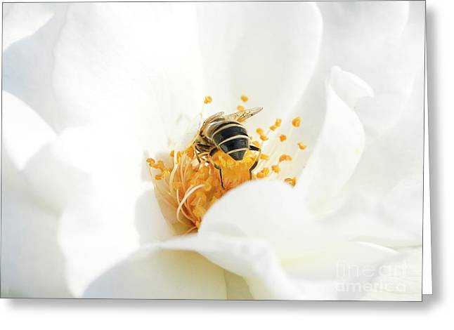 Looking For Gold In A White Rose Greeting Card